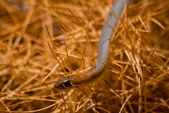 Yellow-faced Whipsnake (max.fontanelli) Tags: blue red sky rock desert reptile snake nt australia lizard kings uluru northern ayers territory kanyon