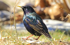 Starling on my lawn (RickykcWong) Tags: toronto ontario bird nature canon eos wildlife starling tamron birdwatcher 70d mylawn rickykcwong