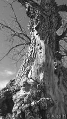 March 29, 2015 - A very weathered old tree in Thornton. (Alisa H)