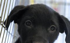 Olive Eyes (Immature Animals) Tags: black eyes labrador olive bark petco petfinder petcofoundation thinkadoptionfirst