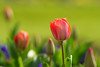 ILCE-6000_2015095_DSC05404 (Sicong (OFF for a while)) Tags: bokeh sony tulip a6000 sal135f18za sonnart18135