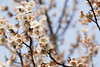 _DSC8306 (bluebullet) Tags: white plant flower cute nature beautiful japan closeup season march spring pretty outdoor nopeople neat plumblossoms hiroshimaprefecture whiteplum miharacity nankouume