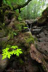 Make Like a Tree (Jared Ropelato) Tags: california jared green nature northerncalifornia creek river waterfall moss sonoma napa 2015 angwin sainthelena ropelato jaredropelato ropelatophotography