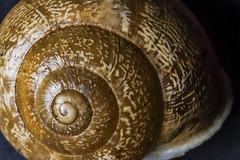 Caracol (ex-otico) Tags: macro spiral snail espiral caracol aurea