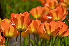 it's that time again... (armykat) Tags: tulips sherwoodgardens baltimoremaryland catchycolorsorange natureycrap tulipalooza tulipalooza2015