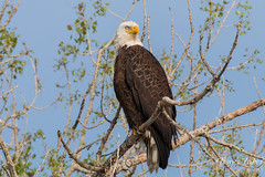 Regal Bald Eagle poses for pictures