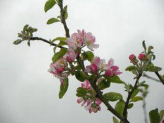 Perfectly pink... (Martha-Ann48) Tags: pink flowers white tree green apple leaves blossom bloom twigs