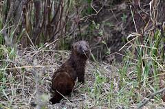 American Mink (Prairie_Wolf) Tags: canada calgary nikon alberta mink inglewoodbirdsanctuary birwatching rachelmackay