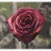 Antik Ros/Vintage Rose