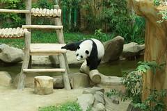 Feng Yi (/) aka Liang Liang 2016-06-17 (kuromimi64) Tags: bear zoo panda malaysia nationalzoo kualalumpur giantpanda   zoonegara     fengyi  liangliang selangordarulehsan  zoonegaramalaysia