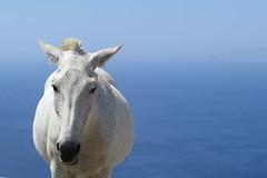 IMG_0225 (john blopus) Tags: tinos   hellas greece island   cyclades  horse