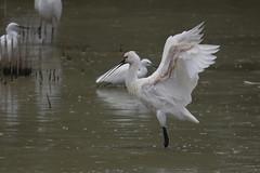 Spoonbill - Spatola (Andrea Lugli) Tags: bird birdwatching spoonbill spatola oasi manzolino modena italy canon eos60d sigma 150600 os dg hsm sport