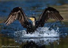 Aborted Flight (muppet1970) Tags: cormorant flight aborted reflection splash failure christchurchpark pond water ipswich