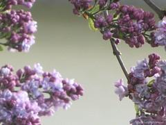 Purple Beauty (katrienberckmoes) Tags: purple beauty common lilac syringa vulgaris beautiful atmosphere close up