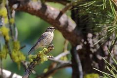 Juvenile Western Bluebird (brian.bemmels) Tags: cleelum wa juvenile western bluebird westernbluebird sialia mexicana scaliamexicana