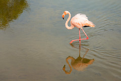 Flamingo (dtredinnick13) Tags: flamingo galapagos puntomoreno lake bird birding water galapagosislands