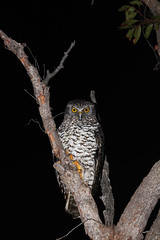 Powerful Owl (Jayden Walsh) Tags: bird nocturnal sydney owl beaches northern powerful