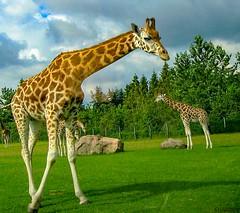 Giraffe (jforberg) Tags: 2005 animal denmark zoo leg billund givesrud