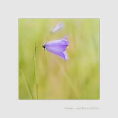 Campanula rotundifoila (BirgittaSjostedt) Tags: wild summer plant flower field outdoor meadow harebell campanularotundifolia birgittasjostedt