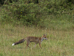 Renard (JFB31) Tags: renardroux vulpesvulpes
