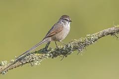 Tijeral (Cristin Tapia Espinoza) Tags: tijeral vregin birdwatching naturaleza nature rn avesdechile aves reservanacional humedal