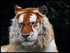 """0066365 2016 11 Juni Golden Tabby Tiger named """"Saffier"""" in Olmense Zoo in Belgium C By Reinier (Ria en Reinier) Tags: wild cats outdoors zoo wildlife tiger wildcat tijger tigre bigcats dierentuin beautifulcats tietgarten"""