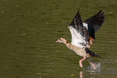 Egyptian Goose  |  Nilgans (abritinquint Natural Photography) Tags: bird vogel natural wildlife nature wild nikon d750 telephoto 300mm pf f4 300mmf4 300f4 nikkor teleconverter tc17eii pfedvr luxembourg nilgans egyptiangoose inflight bif
