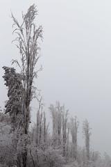 Frosted Poplars (RKAMARI) Tags: art beautiful bw cold forest frosted ice karekareankara last minimalism monochrome muted nature outdoor softness street trees winter flickrsbest