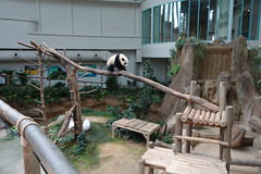 10-month-old (almost) Nuan Nuan () 2016-06-17 (kuromimi64) Tags: bear zoo panda malaysia nationalzoo kualalumpur giantpanda   zoonegara     fengyi   liangliang nuannuan selangordarulehsan  zoonegaramalaysia