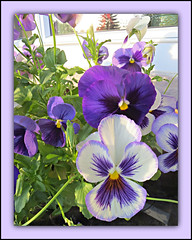Fancy Pansies (bigbrowneyez) Tags: pansies flowers blossoms lovely gorgeous windows fancypansies mygarden miogiardino belli bellissimi pretty prettypansies nature natura pansyfaces delightful delight glass frontveranda frame cornice dof light sunny bright luce sole pastels colourful
