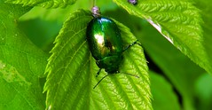 insect (bilal gldoan) Tags: blue macro green nature animal animals garden insect gold nice nikon natural outdoor trkiye bee bahe bit yeil bcek thegreen greenworld doal yaprak thenature nadide autdoor nikoncoolpixp600 nikonp600