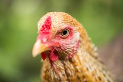 Mal wieder ein Huhn (Gret B.) Tags: huhn henne hen tier animal vogel bird
