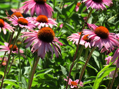 favorite coneflowers (natureburbs) Tags: newjerseynature july summer nature greatswamp wildlife flowers echinacea purpleflowers coneflower