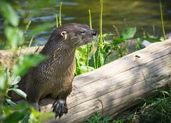 pause (Isaiah62:1) Tags: otter critter flickrtoday flickruniverse sonya6000photos flickrnature sigmadnlens 50plusphotos anykindwildlife lightroom naturallight weshootraw
