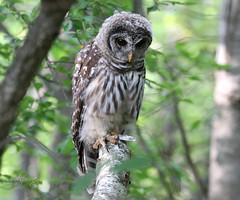 Transcendental (slsjourneys) Tags: owl barredowl greatswampnwr