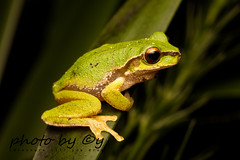 The Pearson's tree frog (Litoria pearsoniana) (peter soltys) Tags: herping petersoltys adventure photobycy australia nsw wildlife wild nature photography amazing naturephotography exitement thepearsonstreefrog litoriapearsoniana frog litoria macrophotography photo amphibia