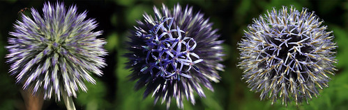 """Kugeldistel (Echinops) • <a style=""""font-size:0.8em;"""" href=""""http://www.flickr.com/photos/69570948@N04/28572832296/"""" target=""""_blank"""">View on Flickr</a>"""