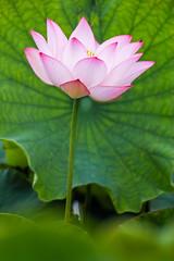 Lotus flowers and leaves (shinichiro*) Tags: 20160728sdq0327 2016 crazyshin sigmasdquattro sdq sigma18300mmf3563dcmacrooshsm summer july flower macro lotus  gyoda saitama japan