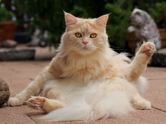 Try yoga (FocusPocus Photography) Tags: linus katze kater cat chat gato tier haustier pet joga yoga animal