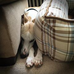 Spanky Sandwich (DiamondBonz) Tags: spanky dogchal dog hound whippet pet sleeping sandwich