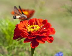 Dans mon jardin... (RosanaCalvo) Tags: flor zinnia airelibre colibr esfinge esfingecolibr insecto jardn rojo