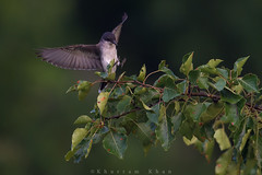 At last light (Khurram Khan...) Tags: easternkingbird wildlife wild wildlifephotography songbirds summer khurramkhan khurramkhanphotocom nikon nikkor ilovenature iamnikon