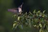 At last light (Khurram Khan...) Tags: easternkingbird wildlife wild wildlifephotography songbirds summer khurramkhan khurramkhanphotocom nikon nikkor ilovenature iamnikon