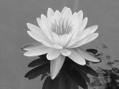 Water lily in black and white (Coyoty) Tags: gillettecastle gillettecastlestatepark statepark easthaddam connecticut ct nature flower waterlily lily water blackandwhite macromondays macro beauty monochrome flowersinblackandwhite symmetry flora plant summer newengland reflection