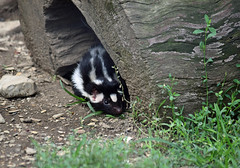 Staying Close to Home (MTSOfan) Tags: spilogale spottedskunk shy timid skunk lvz log