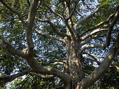 Mid 1800's (Steve Bosselman) Tags: tree beech old ancient
