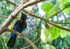 Stellar's Jay (robinlamb1) Tags: birds animals nature jay corvid stellarsjay immature empresstree outdoor tree backyard garden aldergrove bc