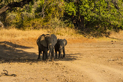 Zambia_LionCamp_212_elephant_warthog (atkiteach) Tags: zambia southluangwanationalpark southluangwa safari safaricamp camp nature naturereserve holiday rural africa lioncamp elephant elephants elephantcalf calf