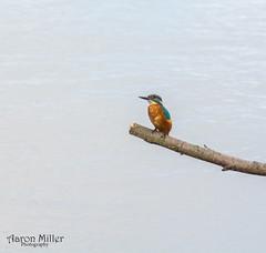 Kingfisher 1st (Aaron Miller Photo) Tags: kingfisher bird blue colour colourful rspb old moor birding birder branch photo photography