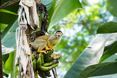 4/4 Black-headed Squirrel Monkey..Singe cureuil de Bolivie ..Saimiri boliviensis (geolis06) Tags: geolis06 prou peru per amriquedusud southamerica manu amazonie amazonia rainforest jungle fort forest madrededios biospherereserve parcnationaldeman mannationalpark 2016 patrimoinemondial unesco unescoworldheritage unescosite pantiacollatour nikon nikond7200 sigma sigma150600mmf563dgoshsmcontemporary primate monkey singe samirissaimiri boliviensisblackheaded squirrel monkeysingecureuil pruviensingessamiris saimiriboliviensis blackheadedsquirrelmonkey squirrelmonkey sapajou sapajouttenoire singecureuilpruvien